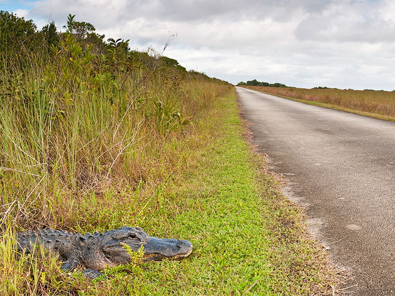 Alligator next to road